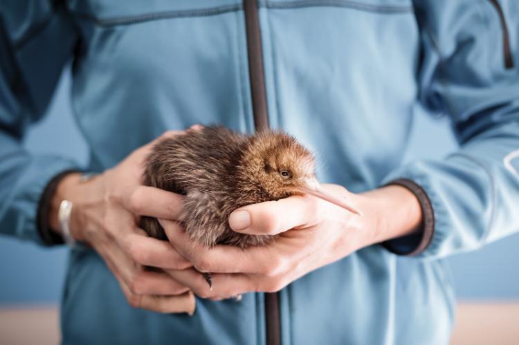 國鳥生的蛋佔鳥媽媽體重1/4, 鳥自己孵不過來怎麼辦? 紐西蘭人有辦法