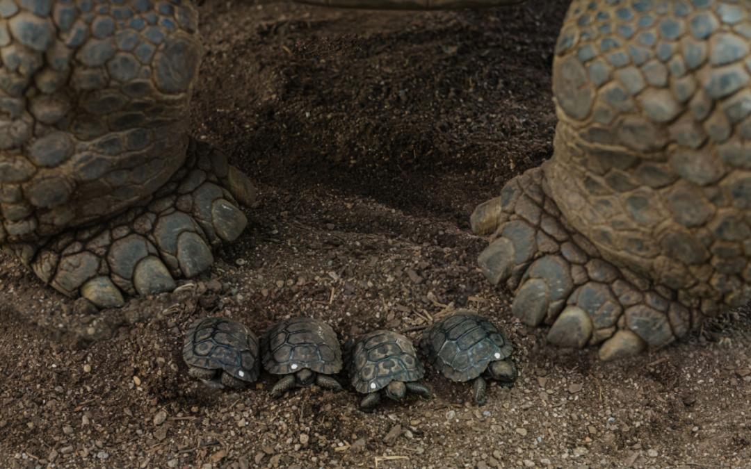 讓同行難以置信,奧克蘭動物園竟一下孵化出4只稀有陸龜!