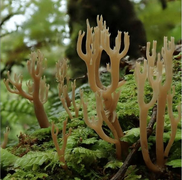 紐西蘭竟有這麼多種珊瑚形真菌!你更喜歡哪一種?