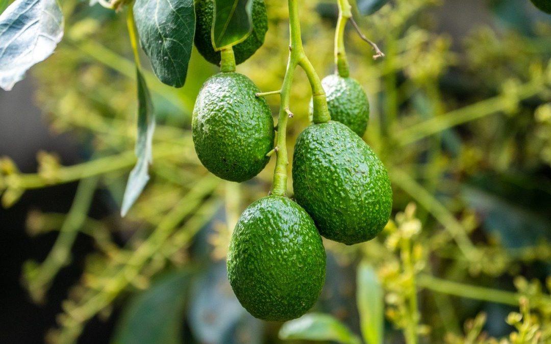 下一個重要產區即將誕生?北島塔拉納基地區這兩年計劃種下上萬棵鱷梨果樹