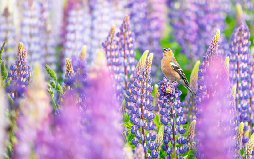 有害植物or漂亮風景 該不該除掉紐西蘭這一標誌性花卉 你怎麼看?