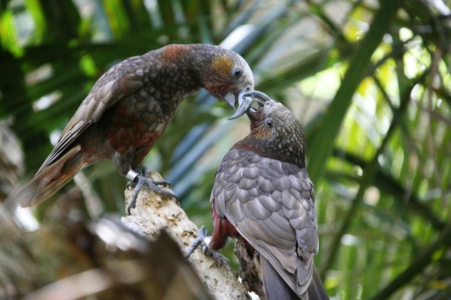 保護計劃現成果 這裡雌卡卡鸚鵡數量翻幾倍 更多雄鸚鵡終於能脫單了!