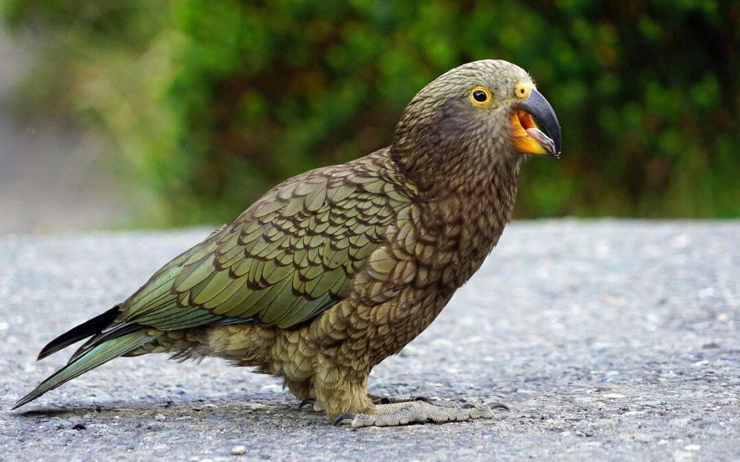 Kea鸚鵡竟聰明到會使用觸摸屏 但真實or虛擬卻傻傻分不清