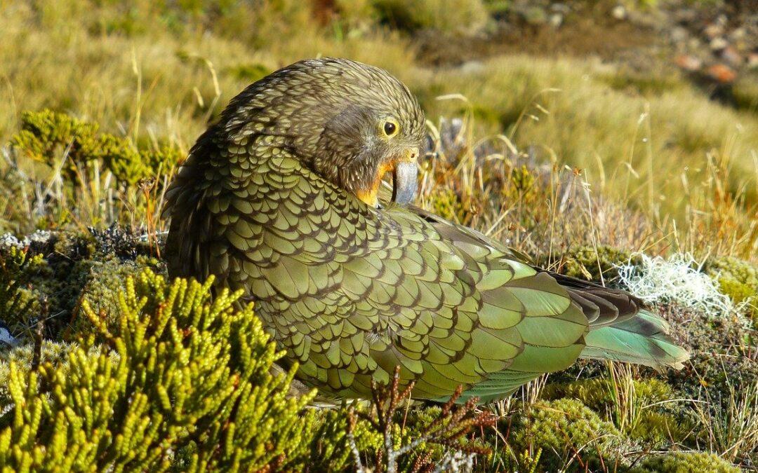 世界首創 這只鸚鵡竟會使用工具梳理羽毛