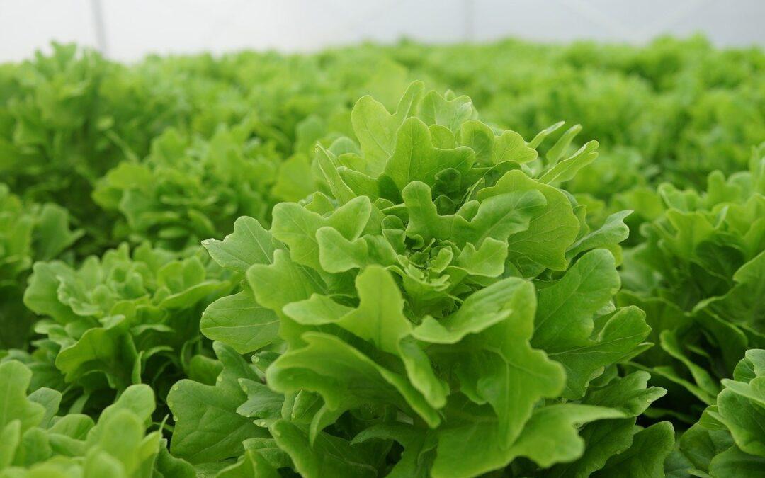 全紐首個巨型溫室建造中 預計明年開始 就可全年生產沙拉蔬菜了